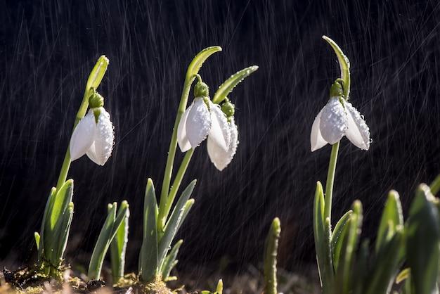 Primavera di bucaneve sotto la pioggia e le luci brillanti.