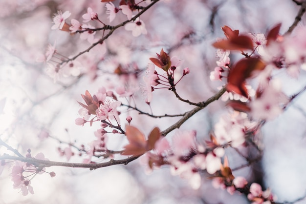 Primavera fiori di ciliegio, fiori rosa
