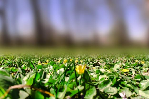 Primavera nella radura della foresta, erba verde e fiori gialli su uno sfondo sfocato.