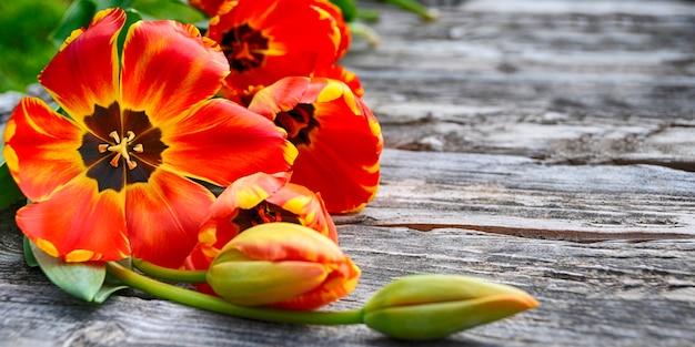 Primavera. sfondo vacanza con fiori di tulipani