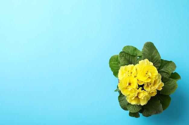 Primaverina gialla in vaso su fondo blu, spazio per testo