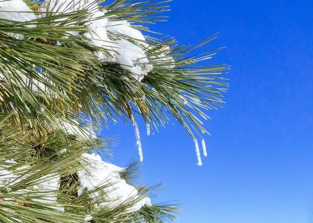 Primo inverno della natura dell'albero delle pigne della neve