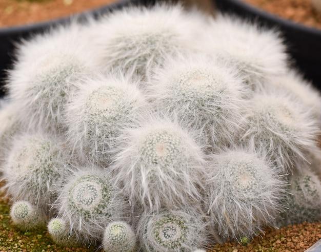 Primo piano a macroistruzione di bello cactus in un vaso. messa a fuoco selettiva