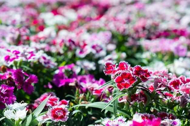 Primo piano bellissimo fiore dianthus.