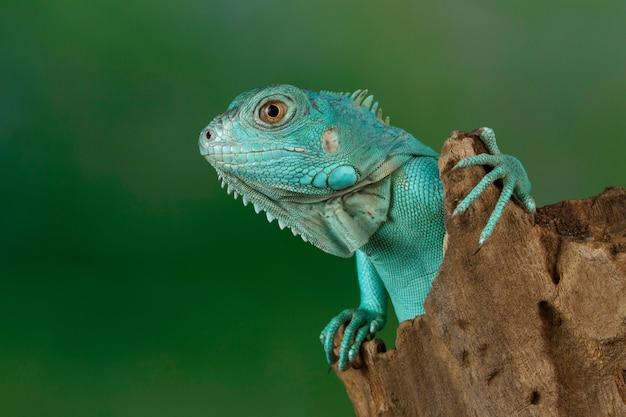 Primo piano blu dell'iguana sul ramo, iguana blu