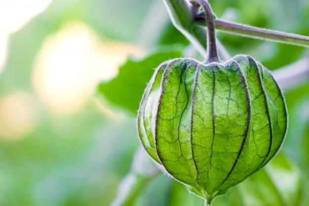 Primo piano cape gooseberry sull'albero in aziende agricole organiche e luce solare di mattina.