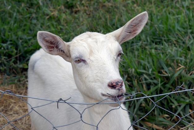 Primo piano capo di goatling che si appoggia recinto di filo metallico