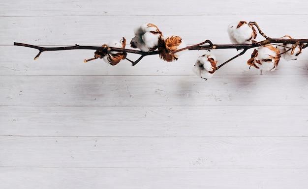 Primo piano dei baccelli maturi del seme di cotone sulla pianta di cotone contro il contesto di legno