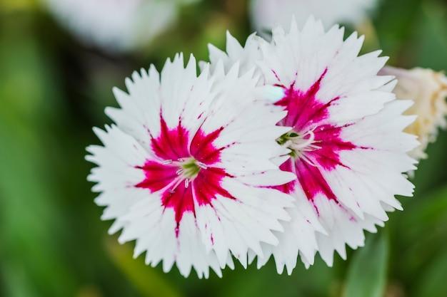 Primo piano dei fiori chinensis bianchi e rosa del dianthus