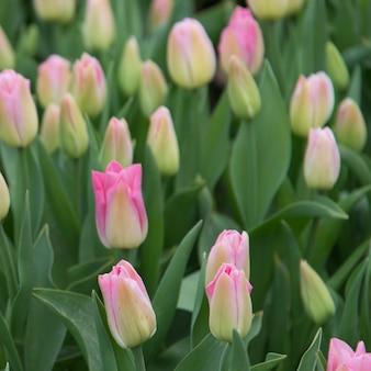 Primo piano dei fiori del tulipano, washington state, usa