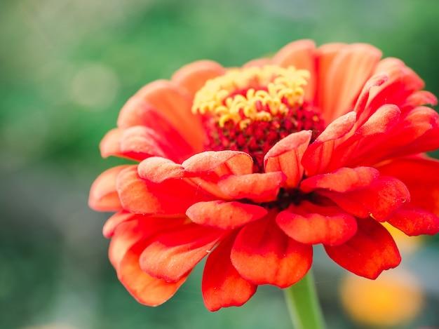 Primo piano dei fiori della molla in anticipo