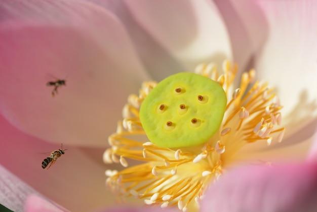 Primo piano dei fiori di loto di fioritura rosa
