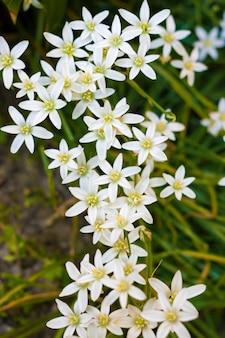 Primo piano dei fiori di ornithogalum (stella di betlemme)