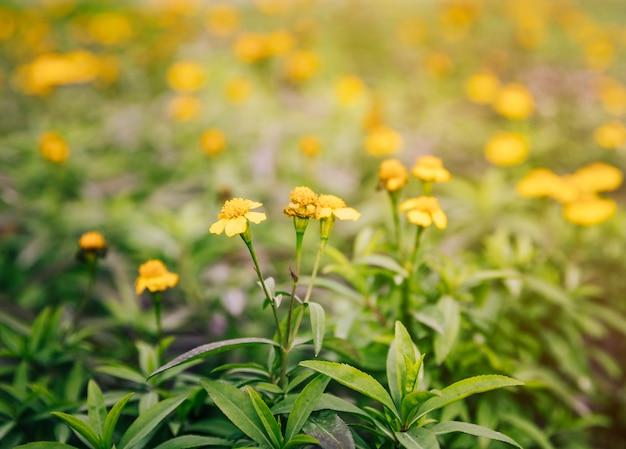 Primo piano dei fiori gialli sulla pianta del timo nel giardino