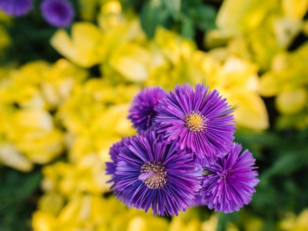 Primo piano dei fiori viola con i fogli gialli