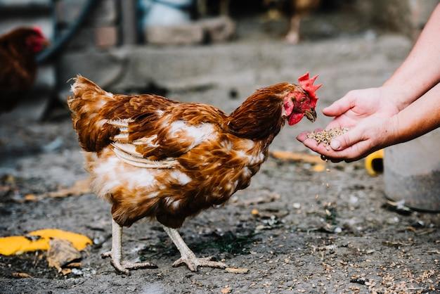 Primo piano dei grani d'alimentazione della mano al pollo nell'azienda agricola