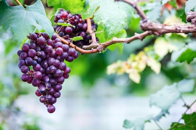 Primo piano dei mazzi di uva rossa matura sulla vite