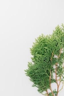 Primo piano dei ramoscelli del cedro isolati sul contesto bianco