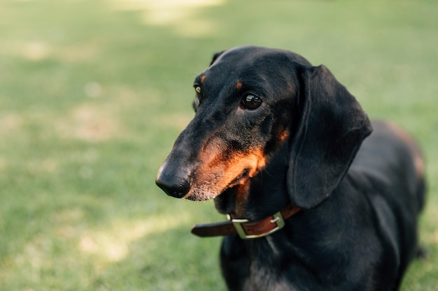 Primo piano del cane bassotto
