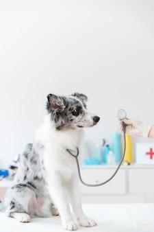 Primo piano del cane con lo stetoscopio sul tavolo
