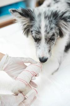 Primo piano del cane ferito con fascia bianca sulla zampa e sull'arto