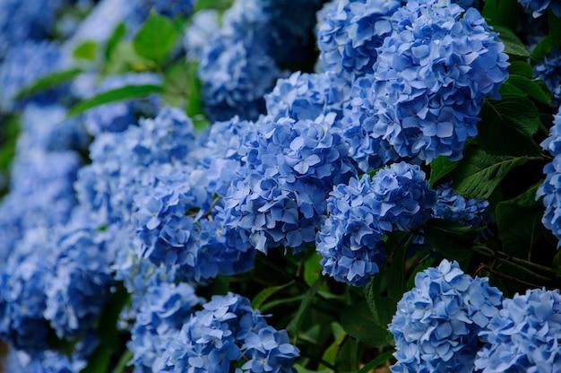 Primo piano del cespuglio fertile dei fiori dell'ortensia