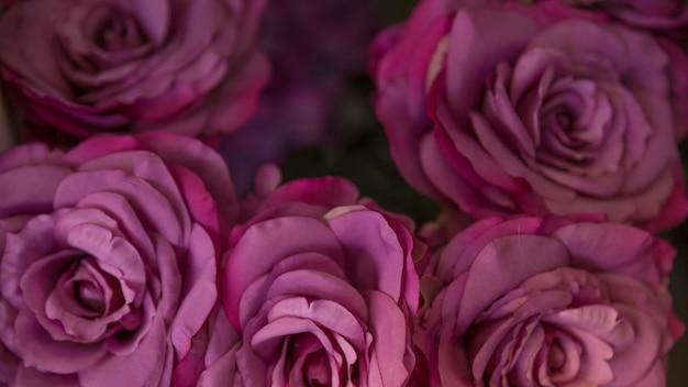 Primo piano del contesto di fiori di rosa fresca viola