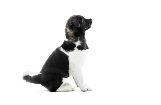Primo piano del cucciolo akita americano bianco e nero