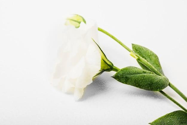 Primo piano del fiore bianco bagnato sopra priorità bassa bianca