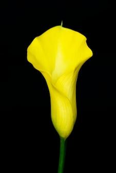 Primo piano del fiore del giglio di fioritura