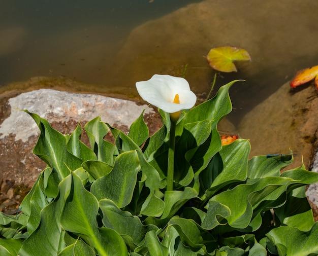 Primo piano del fiore della calla vicino allo stagno un giorno di estate