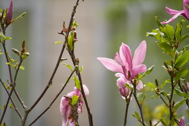Primo piano del fiore della magnolia nel parco dopo la pioggia