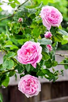 Primo piano del fiore di rosa centifolia (rose des peintres)