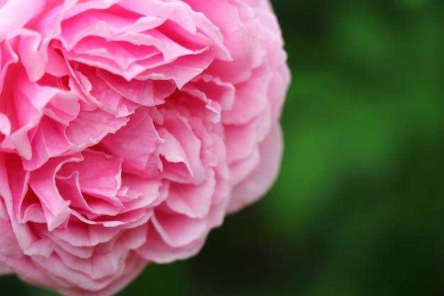 Primo piano del fiore di rosa fioritura rosa per san valentino