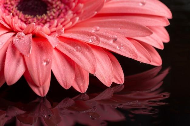 Primo piano del fiore rosa della gerbera
