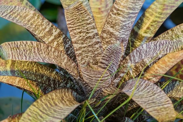 Primo piano del fiore tropicale di bromelia. pianta esotica in giardino
