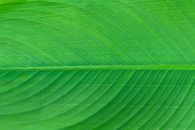 Primo piano del fondo verde dell'estratto di struttura della foglia della banana