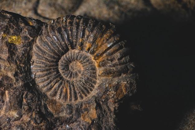 Primo piano del fossile preistorico dell'ammonite incastonato in bankground di pietra, concetto di paleontologia