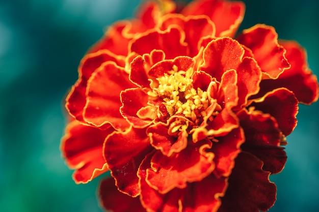 Primo piano del fuoco selezionato macro del fiore rosso della dalia