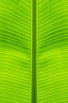 Primo piano del gambo diritto della foglia della banana a bello medio da fondo verde e struttura naturale.
