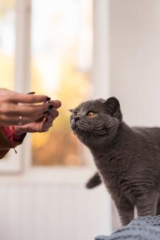 Primo piano del gatto britannico dello shorthair con il proprietario