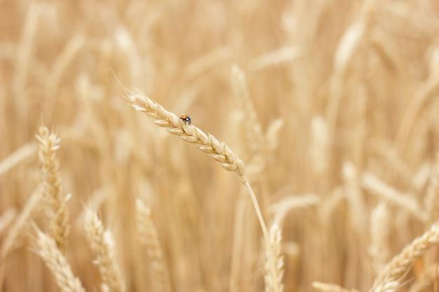 Primo piano del giacimento di grano, concetto dell'agricoltore, raccolto