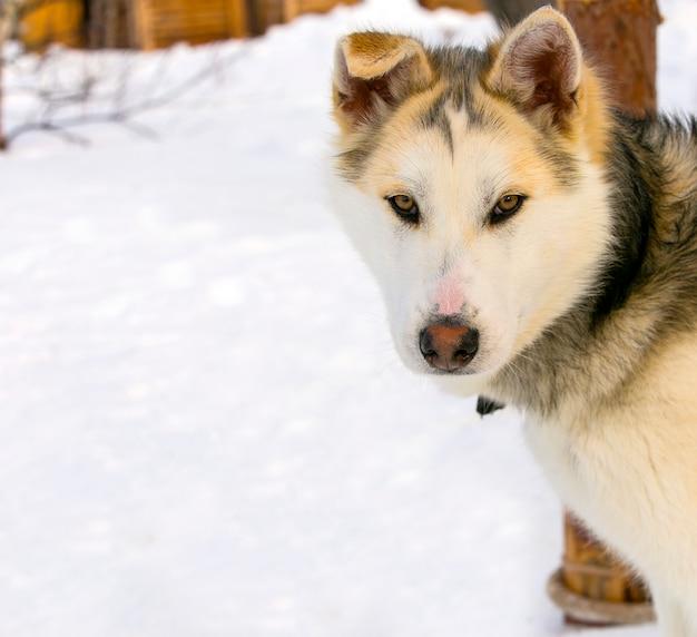 Primo piano del husky siberiano del cucciolo del cane di slitta.