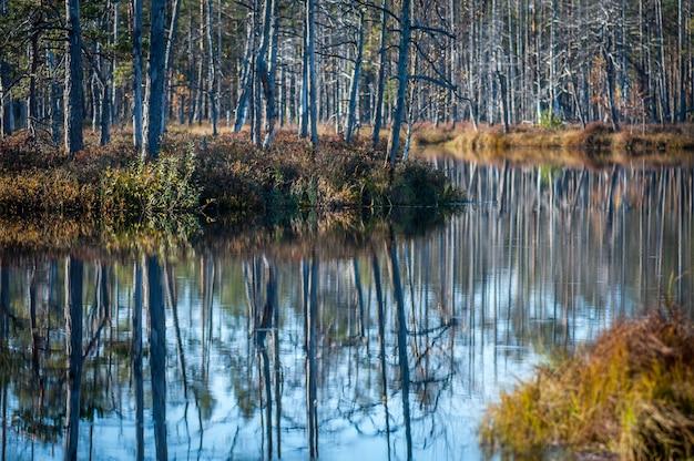 Primo piano del lago paludoso nel legno. riflessione sugli alberi. giornata di sole autunnale. cenas swampland (cenas tirelis), lettonia.