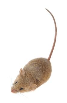 Primo piano del mouse isolato su un bianco isolato