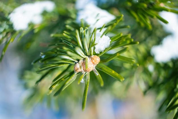 Primo piano del ramo di conifere in inverno