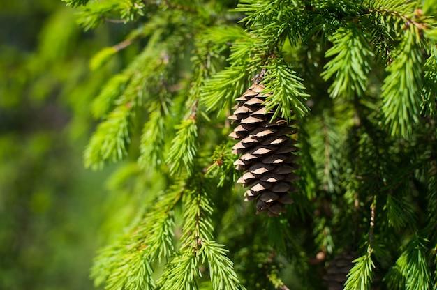 Primo piano del ramo di pinecone su fondo verde. focalizzazione morbida