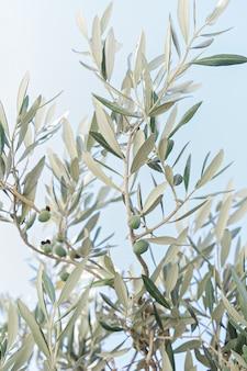 Primo piano del ramo di un ulivo con olive verdi acerbe e foglie contro