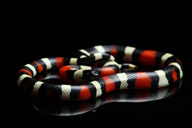 Primo piano del serpente di latte di pueblan