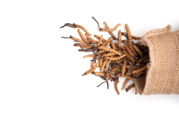 Primo piano del sinensis di ophiocordyceps o cordycep del fungo nella borsa del sacco di brown su fondo isolato